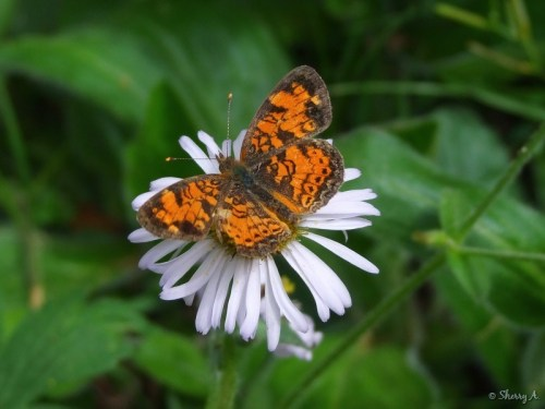 Pearl Crescent butterfly and fleabane