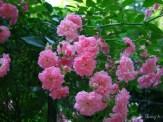 roses on arbor