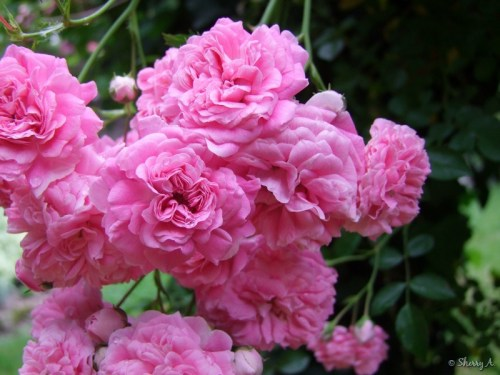 pink roses on ivy arbor