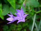 lavendar mountain lilies