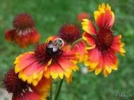 Gallardia and bumble bee