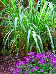 Cabaret Maiden Grass