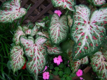 Gingerland Caladiums and impatiens