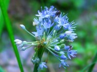blue allium and bugs