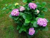 smaller hydrangea shrub