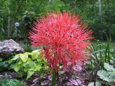 Blood Lily, Scadoxus