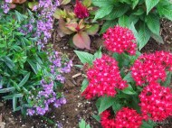 angelonia and pentas