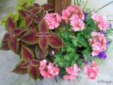 Coleus, Geraniums, Wave petunias
