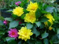 pink and yellow dahlias