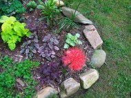 Blood Lily in the stump bed