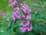Buddleia 'Pink Delight'