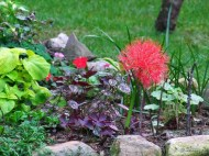 Blood Lily when it first started blooming