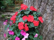 impatiens in the secret garden