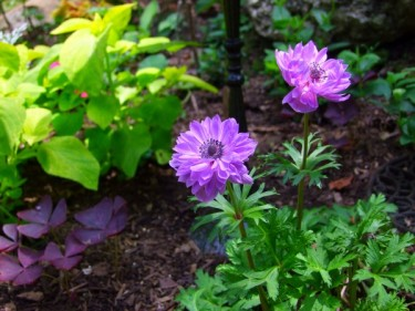 anemones, coleus, purple shamrocks