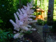 light amethyst Astilbe in the secret garden