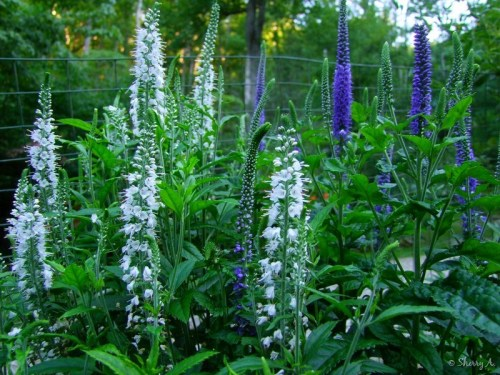 white and purple veronica