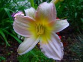 large flowered daylily