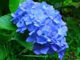 Hydrangea macrophylla 'Nikko Blue'