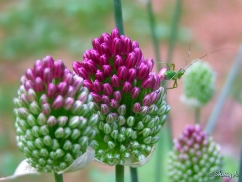 drumstick allium and bug