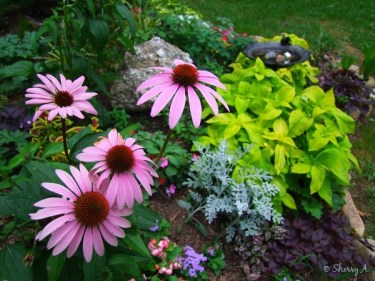 coneflowers in new flower bed