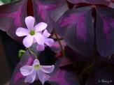 purple shamrock flowers