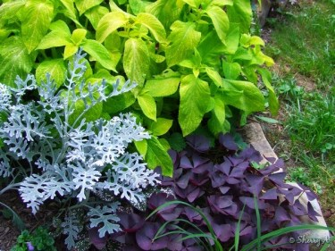 dusty miller, shamrocks, coleus