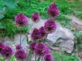 alliums in full bloom