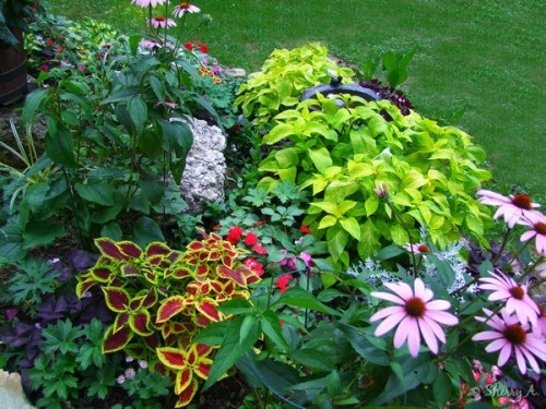 coleus and other foliage plants
