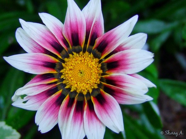 gazania flowers and hot weather sherry 39 s place