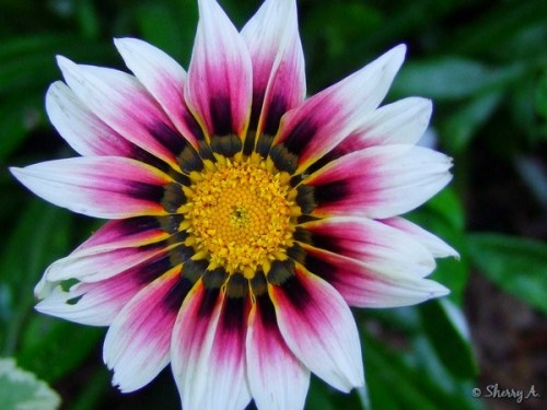 gazania flower closeup