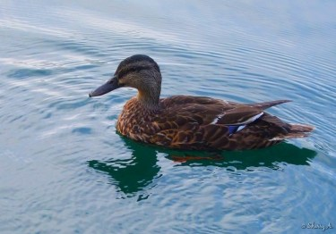 a duck near the houseboat