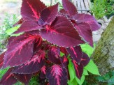 coleus and sweet potato vine in container