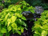 chartreuse coleus