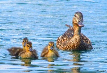 mother duck and 3 babies