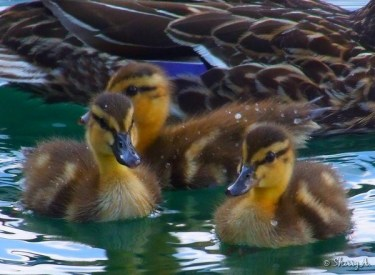 baby ducks up close