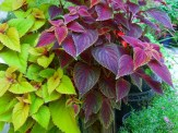 two coleus in containers