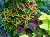 coleus in stump bed