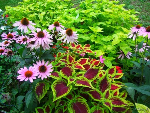 coneflowers and coleus