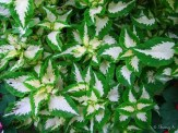 green and white coleus