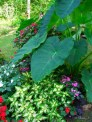 elephants ears, impatiens, coleus