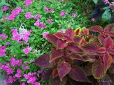 verbena and coleus
