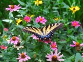 swallowtail and zinnias