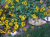 black-eyed susans in front bed