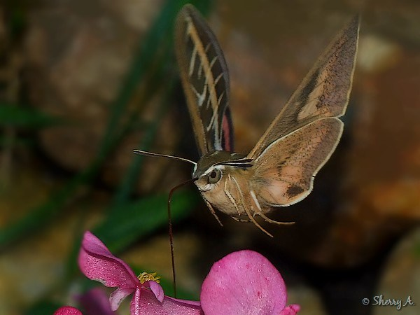 Striped moth looks like hummingbird