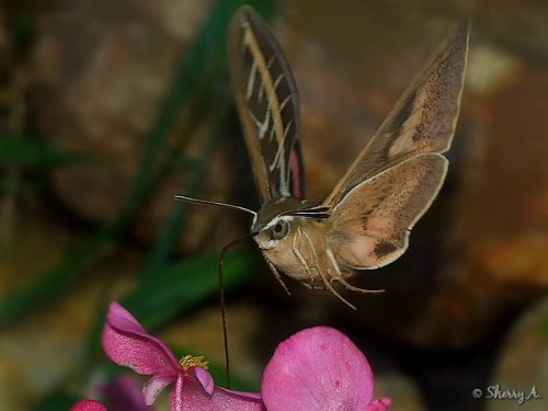 hummingbird moth closeup