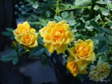 closeup of yellow miniature roses