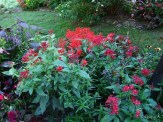 pentas and alternanthera
