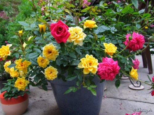miniature roses in a container