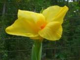 dwarf canna lily