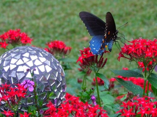 red pentas and butterfly